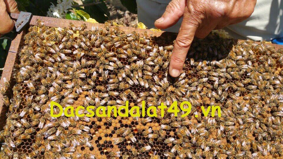 Mật Ong nuôi hoa cà phê  đà lạt
