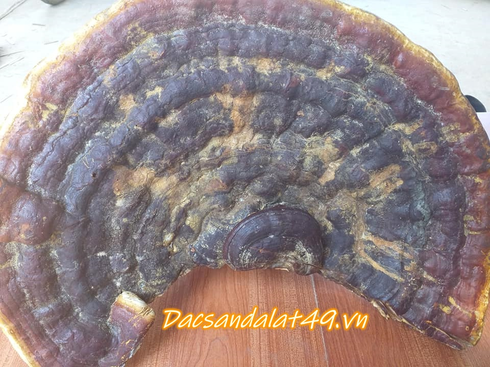 Nấm gỗ linh chi rừng đà lạt