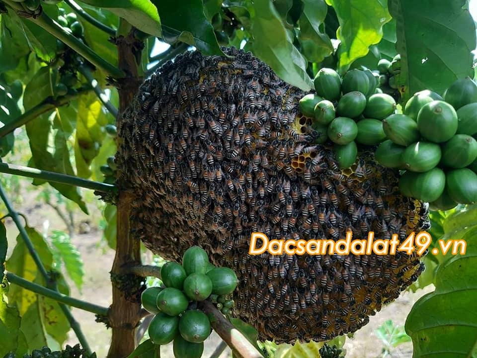 Cách sử dụng mật ong hoa cà phê đà lạt