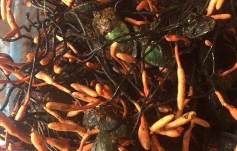 Đông trùng bọ xít rừng tự nhiên Đà Lạt