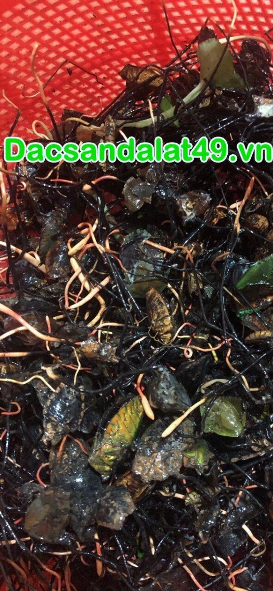 Đông trùng bọ xít rừng tự nhiên