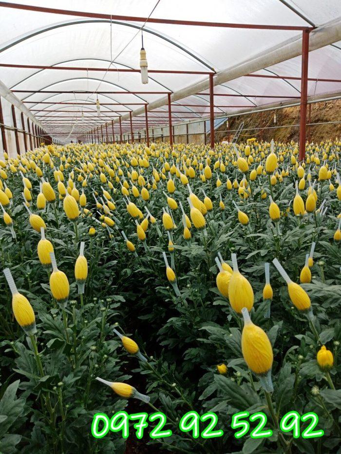 Hoa cúc đà lạt giá rẻ tại vườn