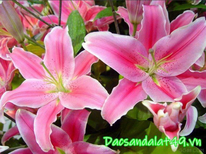 Cung cấp hoa tươi đà lạt giá sỉ tại vườn 0972 92 52 92
