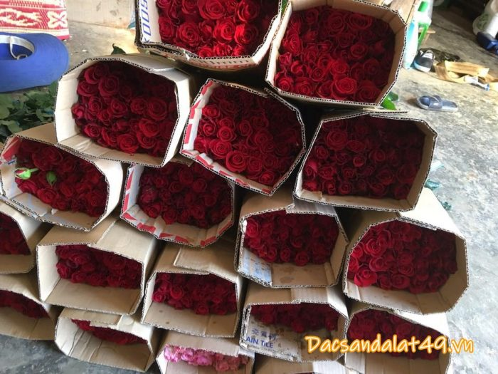 Hoa hồng đà lạt giá rẻ