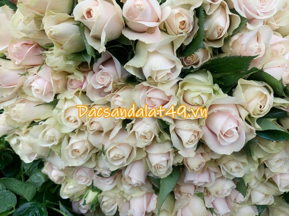 Hoa hồng đà lạt giá sỉ