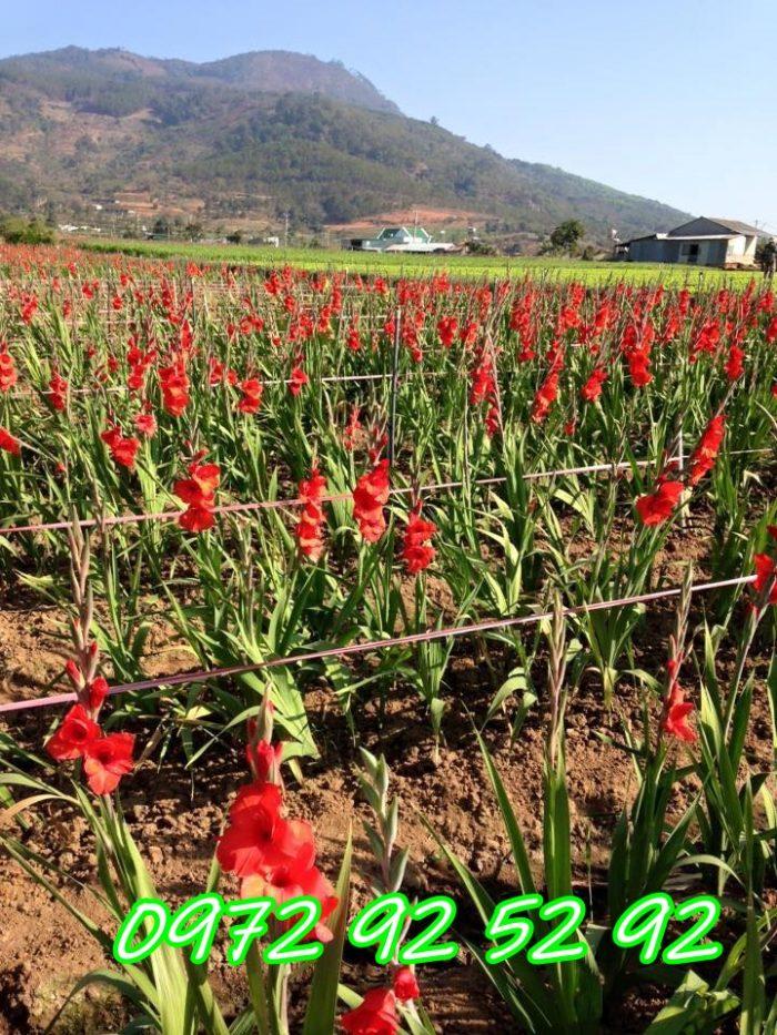 Hoa lay ơn đà lạt giá rẻ tại vườn