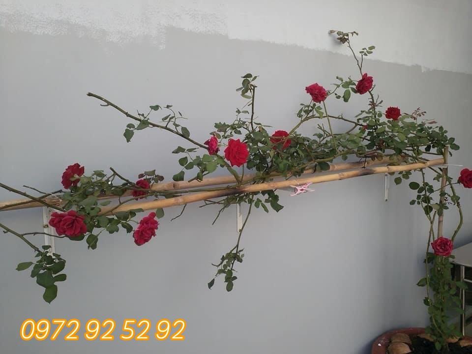Giống hoa hồng leo pháp