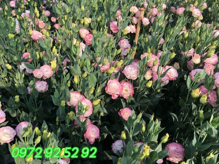 Hoa cát tường đà lạt giá sỉ tại vườn