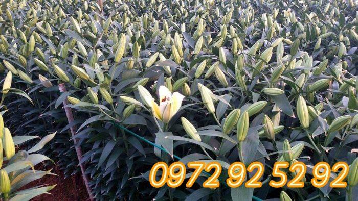 Hoa ly đà lạt giá sỉ tại vườn - cung cấp hoa ly tết đà lạt 2020