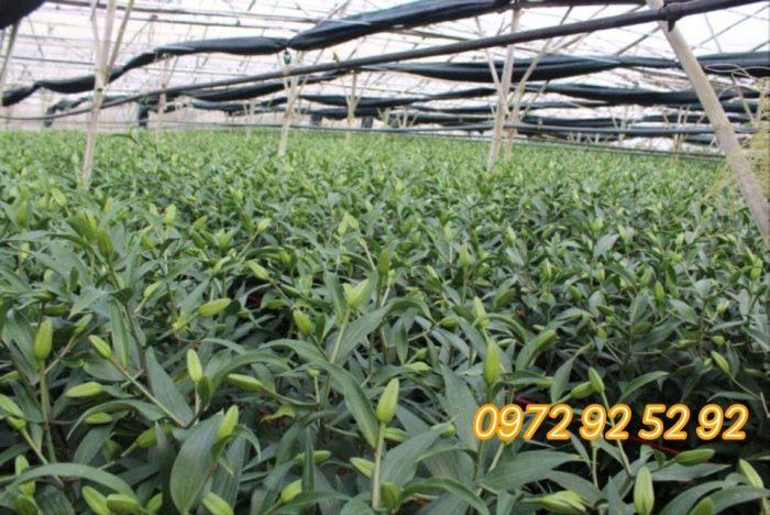 Hoa ly đà lạt giá sỉ tại vườn - hoa ly tết đà lạt 2020
