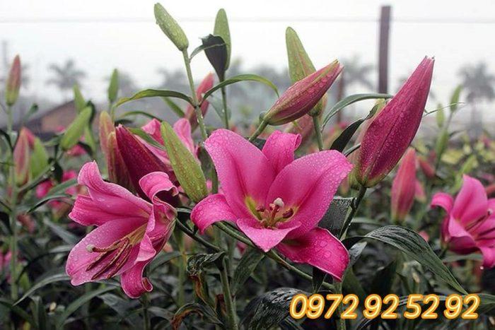 Hoa tươi đà lạt giá sỉ tại vườn - hoa tết đà lạt 2020