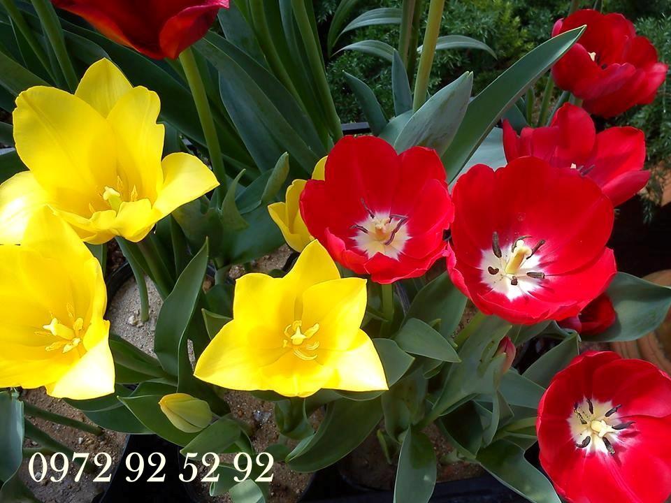 Hoa tulip đà lạt giá sỉ