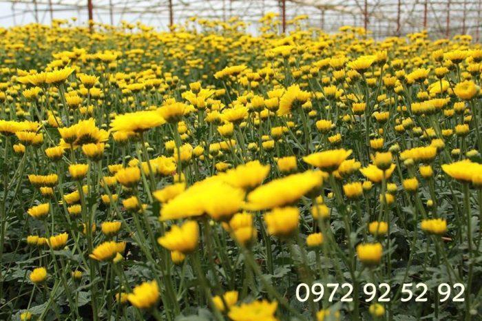 chuyên cung cấp các loại hoa đà lạt tết 2020 giá sỉ tại vườn 0972 92 52 92