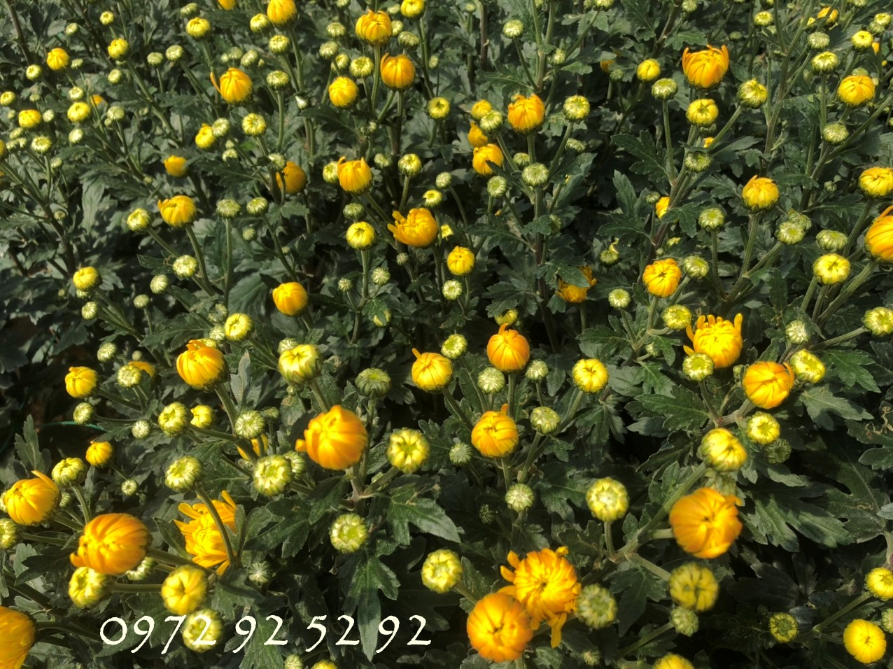 Giá hoa đà lạt tết 2020 sỉ tại vườn