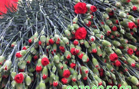 Hoa cẩm chướng đà lạt giá sỉ
