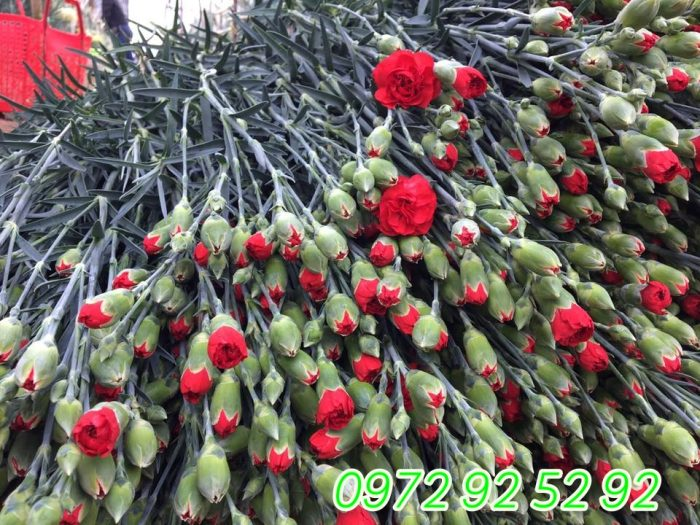 Hoa cẩm chướng đà lạt giá sỉ tại vườn 0972 92 52 92