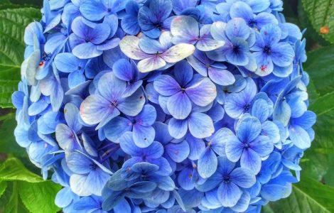 Hoa cẩm tú cầu đà lạt giá sỉ