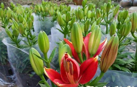 Hoa ly chậu lùn đà lạt giá sỉ