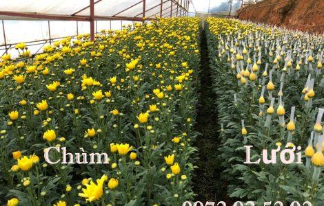 Hoa cúc chùm – hoa cúc đà lạt giá sỉ