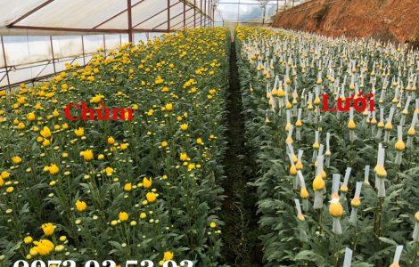 Hoa cúc lưới – hoa cúc đà lạt giá sỉ