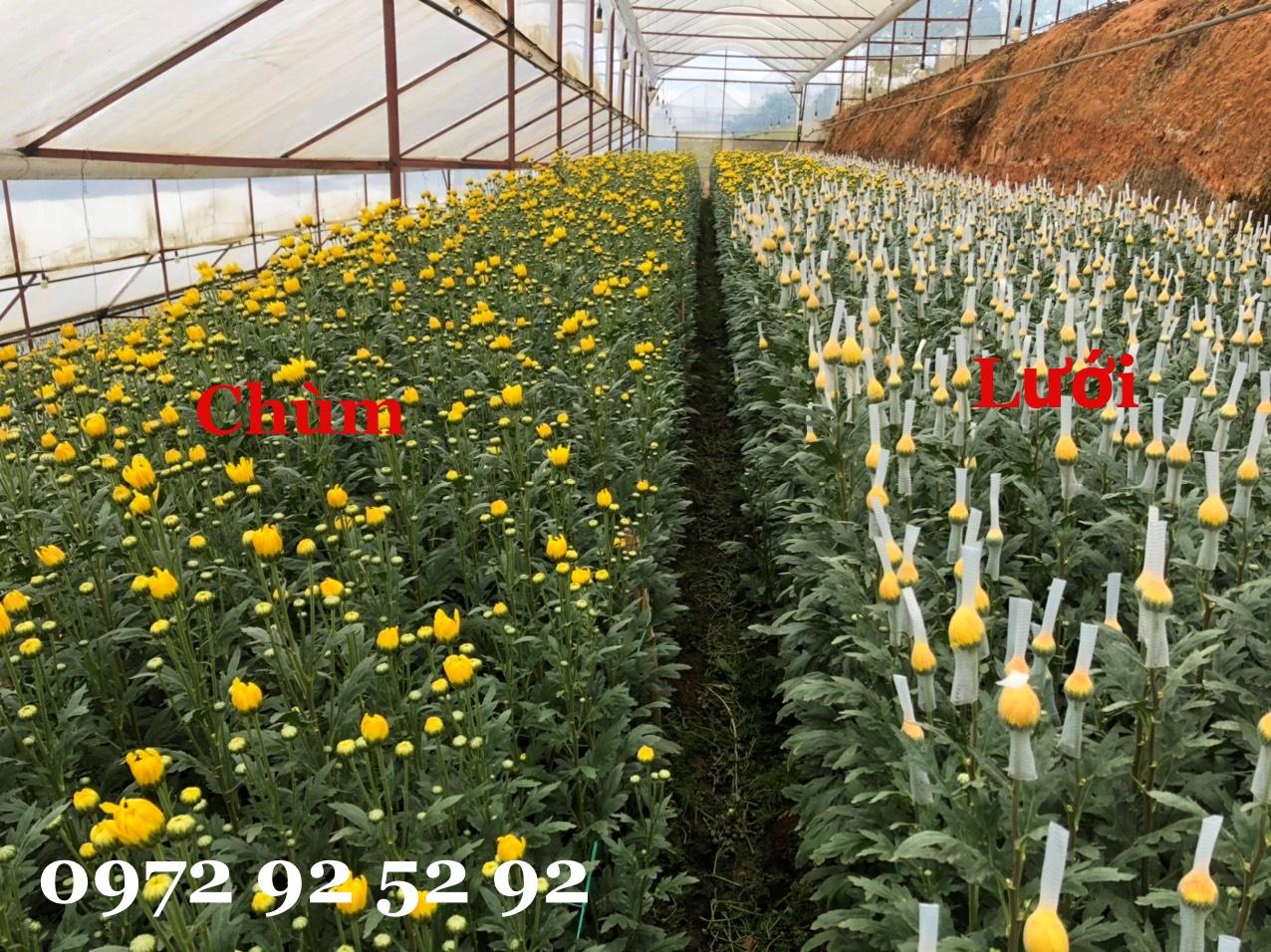 Hoa cúc lưới đà lạt giá sỉ