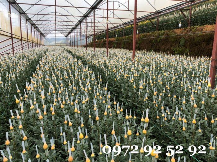 hoa cúc lưới đà lạt
