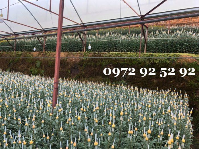 giá hoa cúc lưới đà lạt