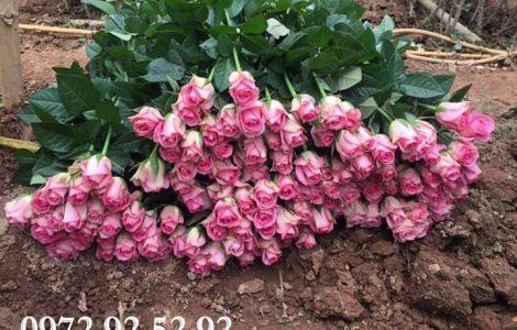Nhà trồng hoa hồng – hoa hồng đà lạt giá sỉ