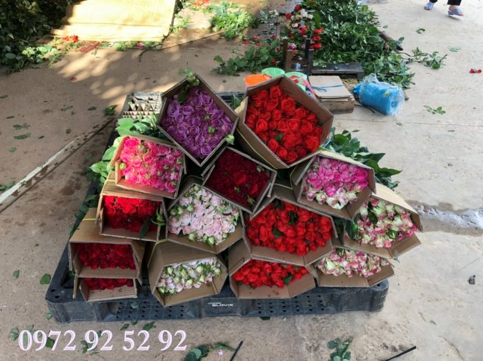 Hoa hồng đà lạt giá sỉ tại vườn
