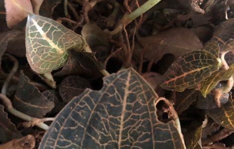 Lan gấm – Lan Kim Tuyến rừng Đà Lạt