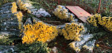 Cung cấp hoa cúc đà lạt giá sỉ tại vườn – hoa cúc vàng đà lạt