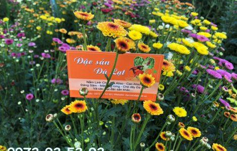 Hoa cúc calimero – Hoa đà lạt giá sỉ tại vườn