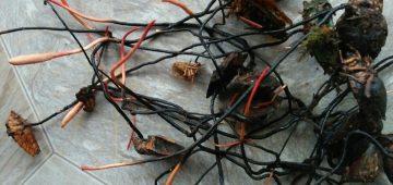 Đông trùng hạ thảo rừng đà lạt và cách sử dụng