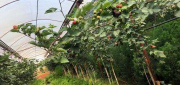 Trái blackberry – quả mâm xôi đen – trồng ở Đà Lạt