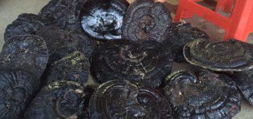 Nấm hắc chi – linh chi đen đặc sản rừng đà lạt