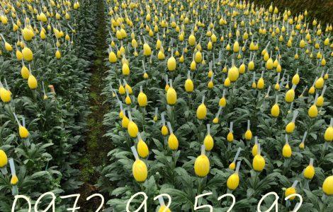 Hoa cúc đà lạt đẹp – hoa cúc đà lạt giá sỉ tại vườn