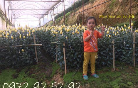 Hoa cúc đà lạt – Sỉ các loại hoa cúc đà lạt