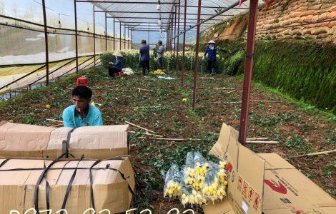 Hoa cúc lưới đóa cũ giá sỉ tại vườn