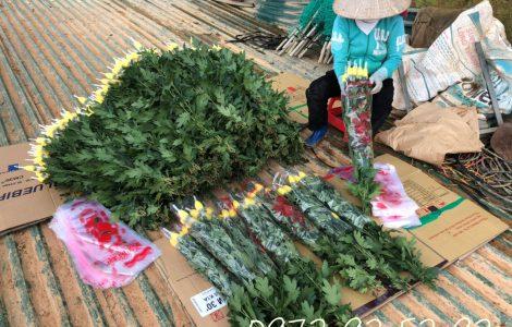 Hoa cúc đà lạt tết 2021 giá sỉ