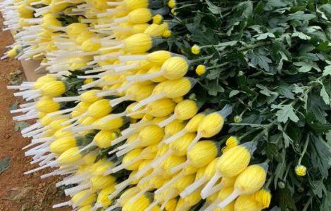 Giá hoa đà lạt tết 2021 sỉ tại vườn