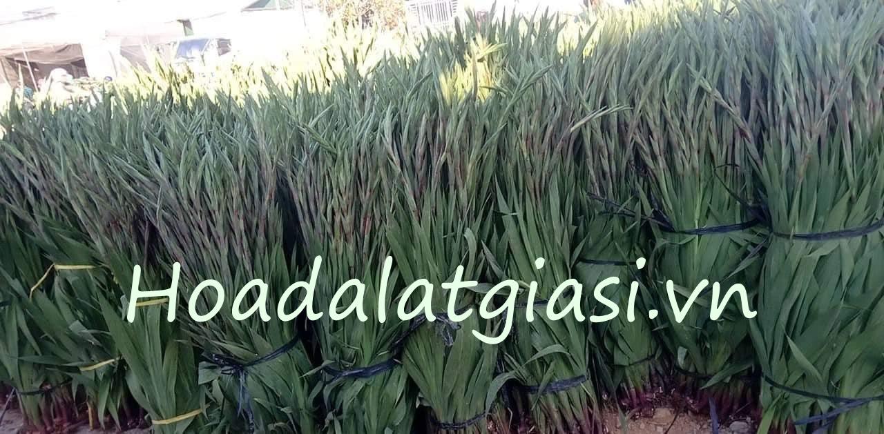 Hoa lay ơn đà lạt tết 2021 giá sỉ tại vườn