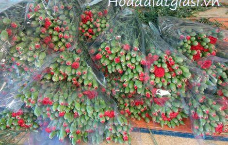 Hoa cẩm chướng đà lạt tết 2021 giá sỉ tại vườn
