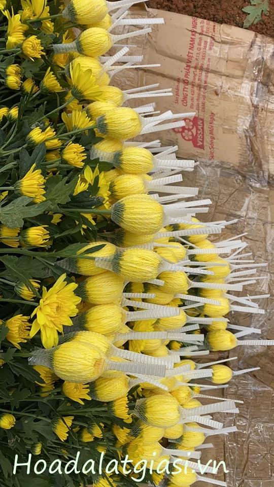 Nhận đơn hoa cúc đà lạt tết 2021 – Hoa đà lạt giá sỉ