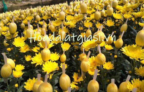 Giá sỉ hoa cúc vàng đà lạt – Hoadalatgiasi.vn
