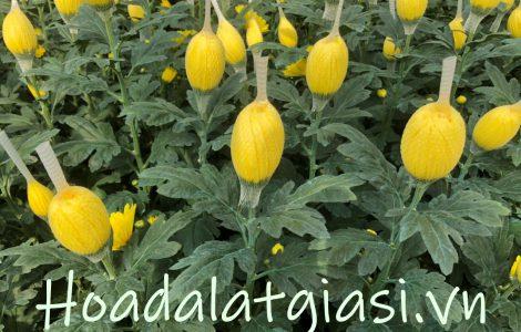 Hoa cúc lưới vàng – Hoa cúc đà lạt giá sỉ