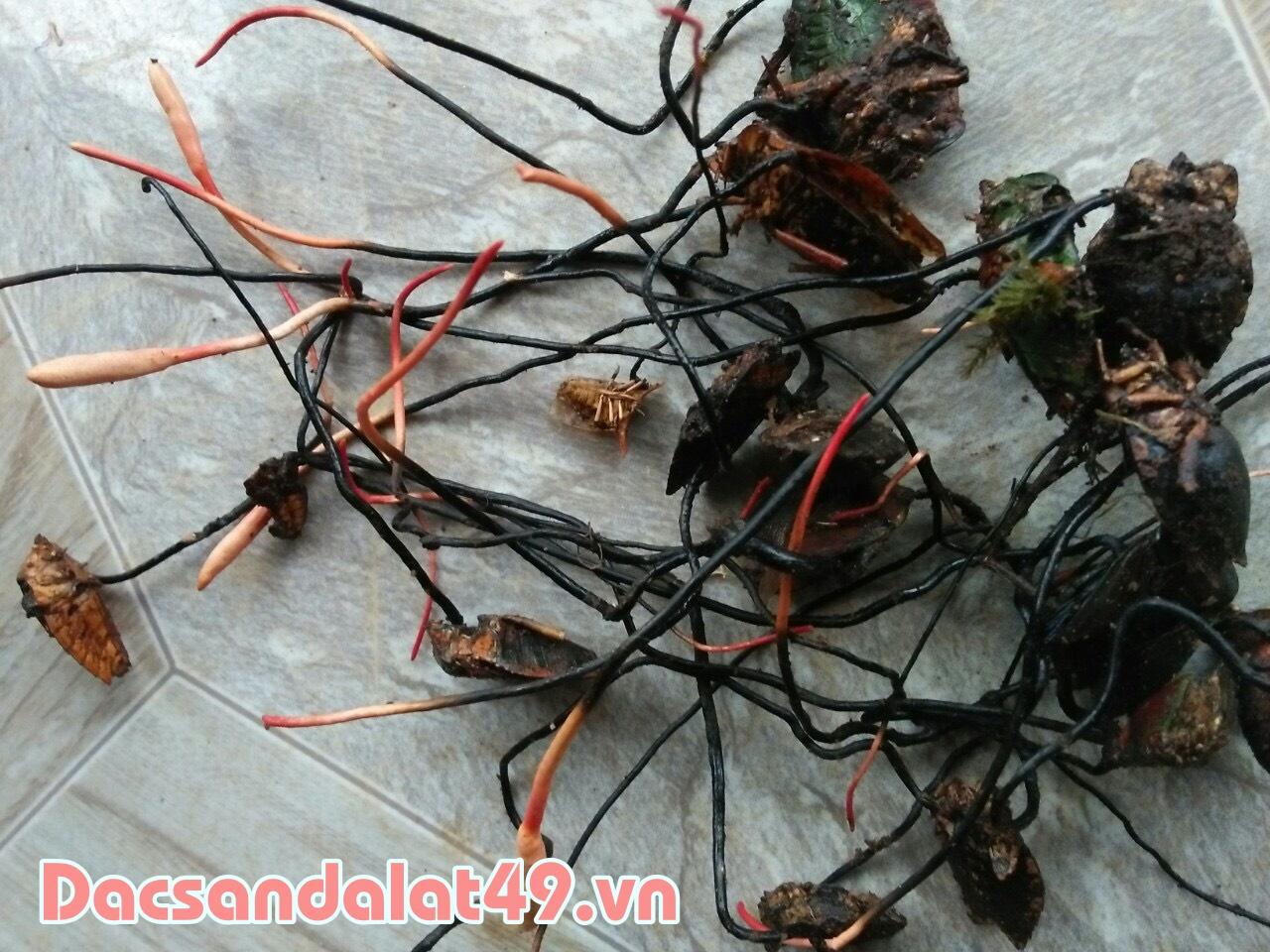 Đông trùng hạ thảo rừng tự nhiên tại Đà Lạt