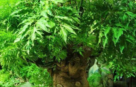 Đặc điểm và công dụng của cây đinh lăng