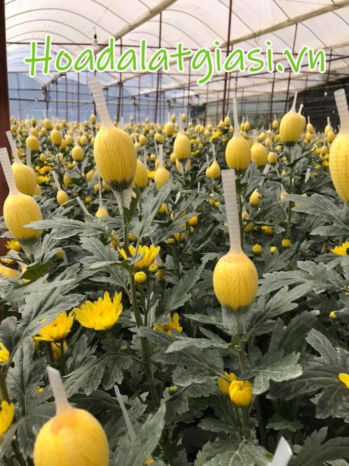 Hoa cúc lưới đà lạt tết 2022 giá sỉ tại vườn