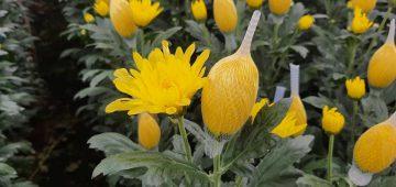 Hoa cúc đà lạt – Địa chỉ bán hoa cúc giá sỉ tại vườn